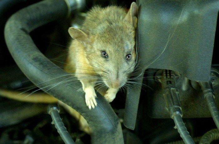 4 cách đơn giản đuổi chuột ra khỏi ô tô - CafeAuto.Vn