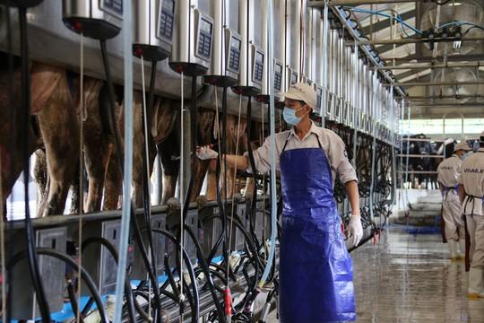 Hệ thống vắt sữa tự động hiện đại tại trang trại bò sữa Vinamilk ở tỉnh Nghệ An Ảnh: THANH NHÂN