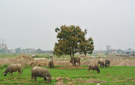 Chăn trâu trên đất nghìn tỉ