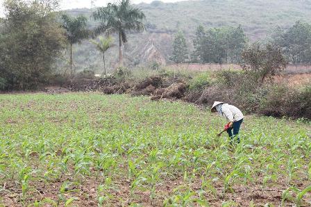 Là công dân Thủ đô, nhưng nghề chính của người dân xã Tiến Xuân vẫn là nông nghiệp
