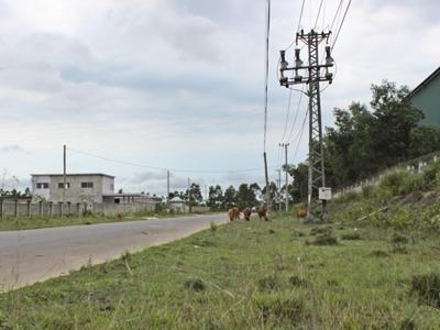 Trâu bò gặm cỏ, phóng uế trong Khu CN Nam Đông Hà ẢNH: H.T