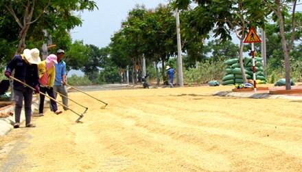 Những con đường hoang vắng ở KTĐC Ninh Thủy được tận dụng làm nơi phơi thóc. Ảnh: N.Đ.Q