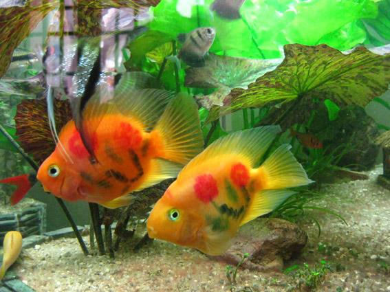be ca 1355830874 Tăng vận đào hoa cho người độc thân bằng bể cá