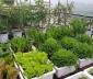 Cách trồng rau trên sân thượng bằng thùng xốp