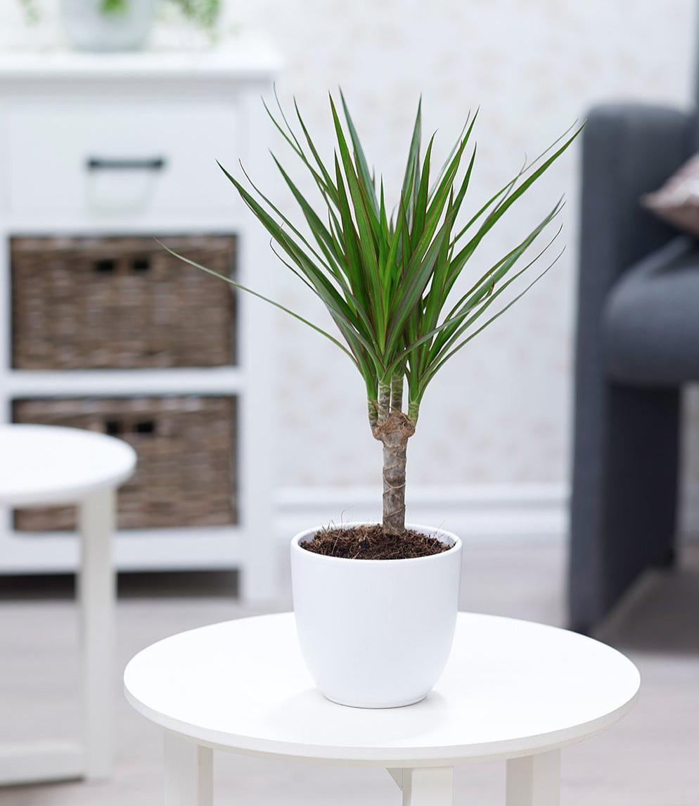 Cây dễ trồng, dễ chăm sóc nên được ưa chuộng để trang trí cho phòng khách.
