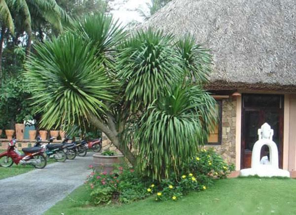 Cây Phát Tài Núi được trồng để vừa trang trí cho nhà ở vừa mang lại không gian sống xanh.