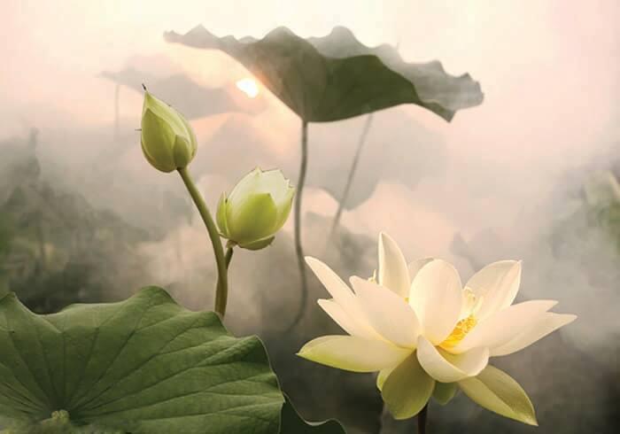 Tranh hoa sen trong sương sớm