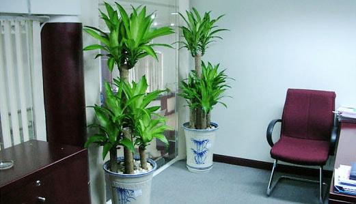 Bộ đôi cây Thiết Mộc Lan được đặt ở cửa phòng làm việc.