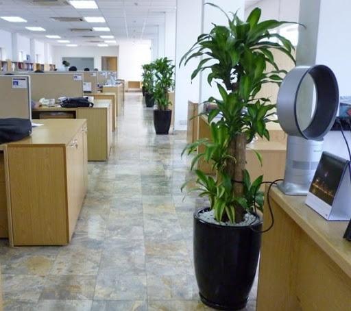 Cây Thiết Mộc Lan được đặt dọc lối đi của văn phòng làm việc.