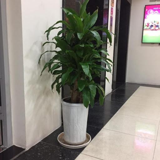 Cây Thiết Mộc Lan được đặt ở khu vực sảnh chờ thang máy của nhà hàng, khách sạn.