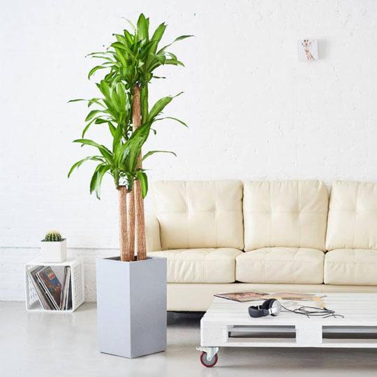 Nhiều gia đình của lựa chọn cây Thiết Mộc Lan để mang lại không gian xanh cho ngôi nhà.