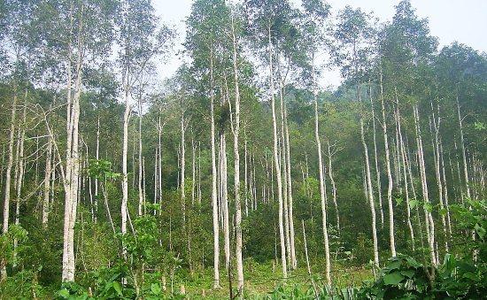 Đặc điểm của gỗ dổi