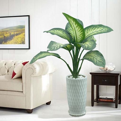 Cây Vạn Niên Thanh giúp thanh lọc không khí cho không gian phòng khách