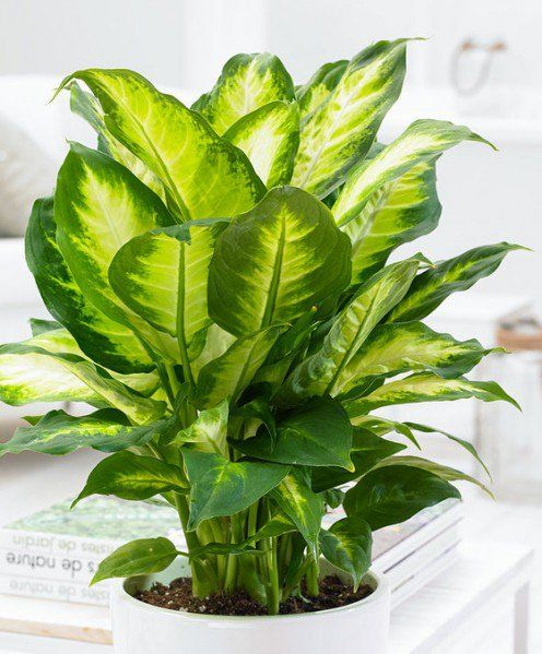 Vạn Niên Thanh: loại cây thanh lọc không khí nhưng độc