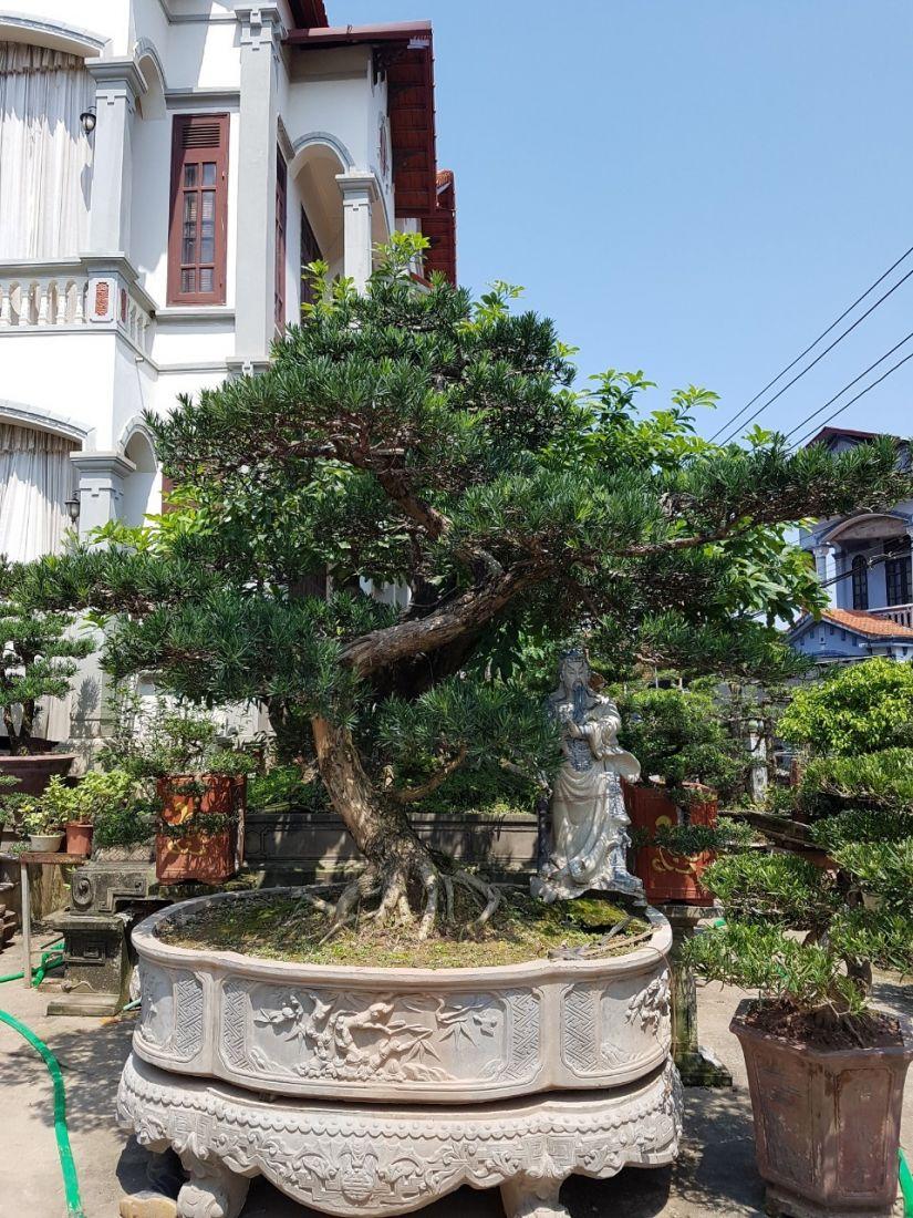 Cây tùng la hán với thế bonsai đẹp không thể thiếu trong vườn nhà.