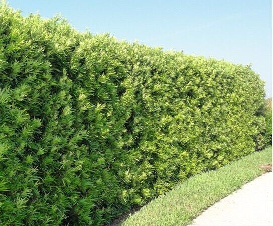 Cây tùng la hán được trồng thành rào.