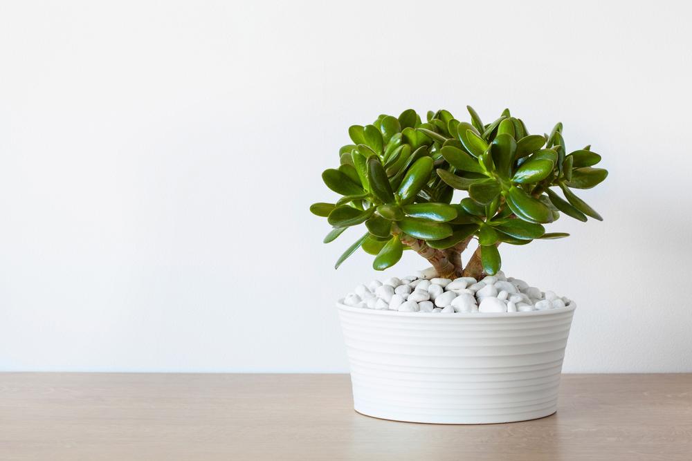Màu xanh mát của lá tạo sự dễ chịu, thoải mái cho người trồng. Cây giúp giảm căng thẳng sau những ngày làm việc vất vả, hút bớt năng lượng xấu từ máy tính hoặc thiết bị điện tử.