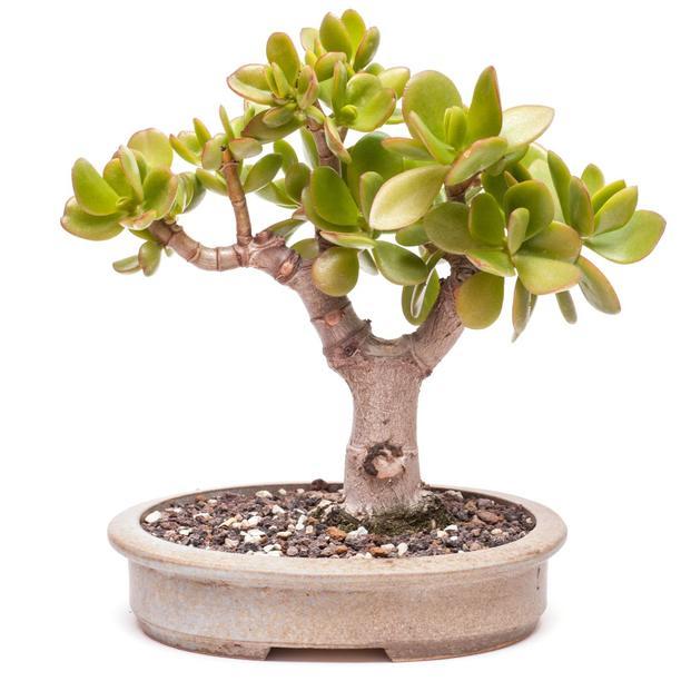 Thân cây mềm, dễ tạo hình, có thể làm cây bonsai, và làm quà tặng cho người thân, bạn bè, đồng nghiệp.