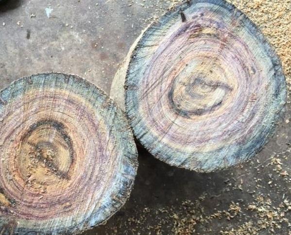 Đặc điểm của gỗ thủy tùng