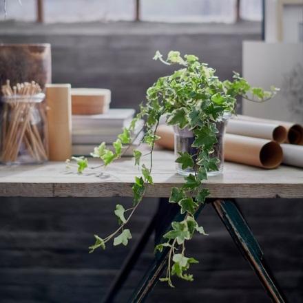 Ý nghĩa phong thủy của cây thường xuân