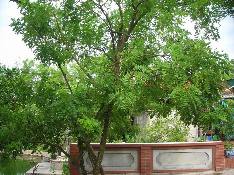 Nên trồng cây gì trước nhà theo phong thủy? - Ảnh 3