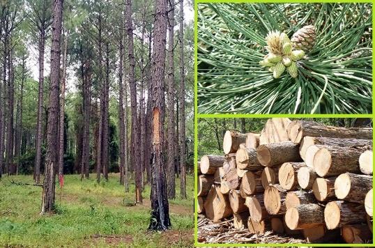 Ứng dụng của gỗ thông trong thiết kế nội thất