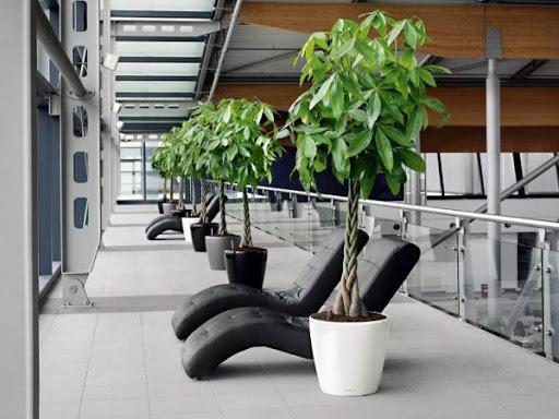 Ở nơi nhiều người qua lại như hành lang, đặt cây Kim Ngân giúp thanh lọc không khí