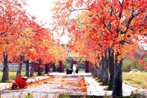 cây phong lá đỏ có ý nghĩa gì trong phong thủy - cafeland.vn