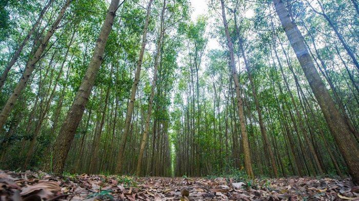 Có được bồi thường khi thu hồi đất rừng sản xuất?