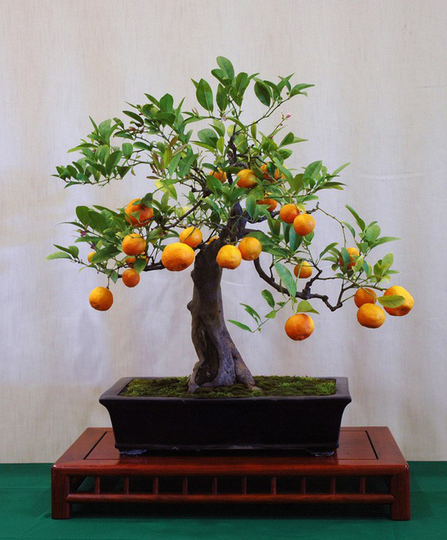 Cây quất bonsai mini đơn giản nhưng đẹp