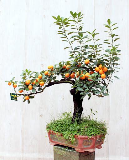 Thế cây quất độc, lạ trưng bày ở phòng khách ngày Tết