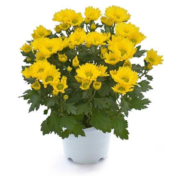 Hoa cúc ngày tết