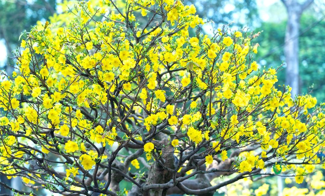 Hoa mai ngày Tết và ý nghĩa đặc biệt