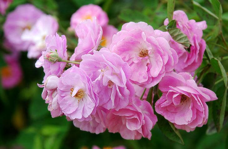 Hoa tầm xuân