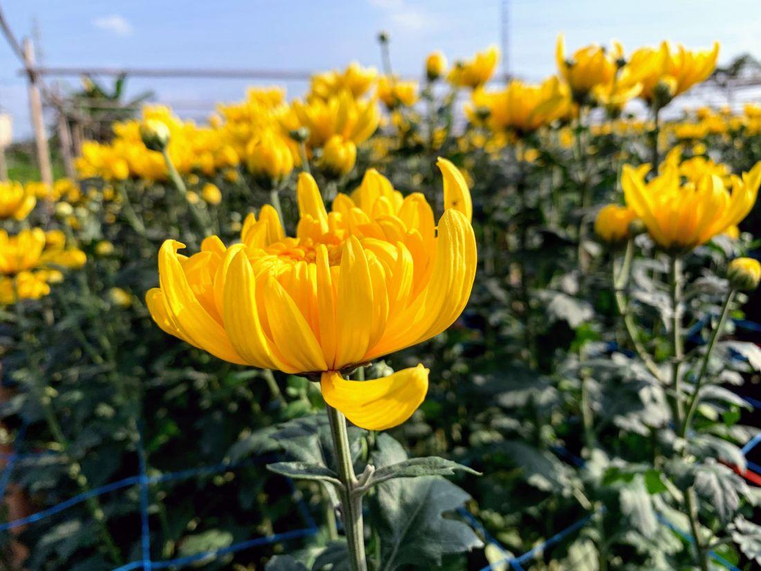 7 loại hoa ngày Tết mang lại nhiều may mắn