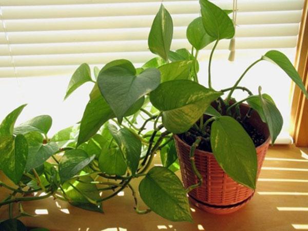 Cây trồng trong phòng ngủ - Cây trầu bà
