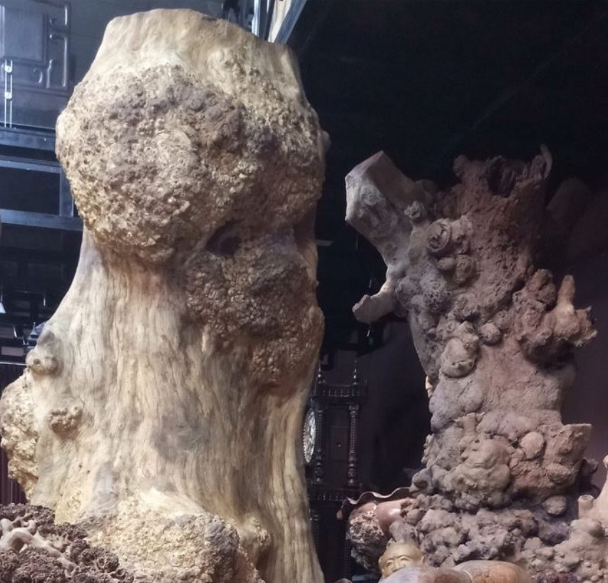 Gỗ nu là gì? Ứng dụng của gỗ nu trong đời sống
