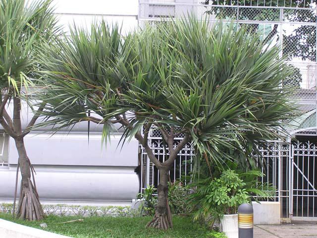 phattai3 1344335488 Tìm hiểu về những loại cây phát tài trong phong thủy
