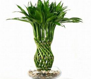 phattai5 1344335542 Tìm hiểu về những loại cây phát tài trong phong thủy