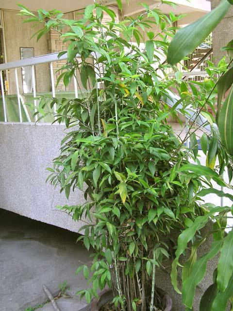 phattai6 1344335555 Tìm hiểu về những loại cây phát tài trong phong thủy