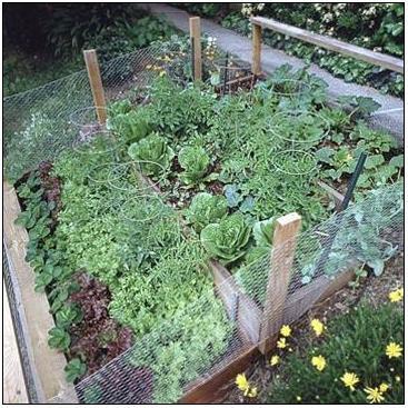 Trồng rau trong vườn nhà